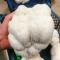 Mycelium, pindsvinepigsvamp/Lion's Mane (100 g.)